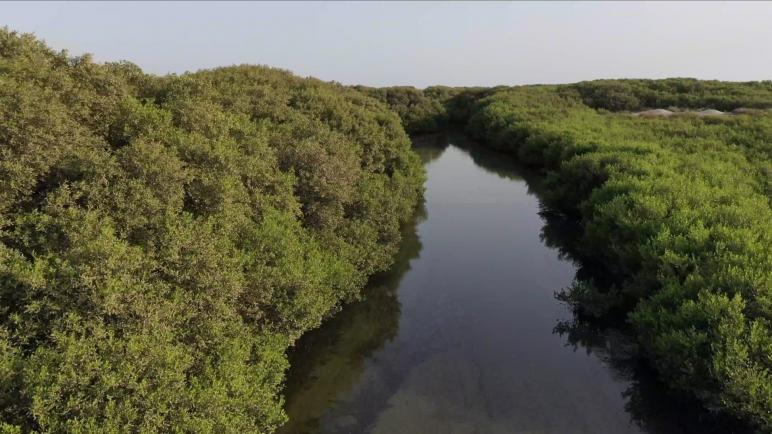 السعودية.. تعرف على غابات المانجروف على شاطئ تاروت