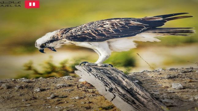 مواطن يقترح تحويل خليج تاروت لمحمية طبيعية.. و«الحماية الفطرية» تتفاعل